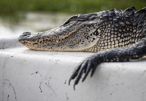 Фото №1 - Во Флориде двух парней арестовали за попытку споить аллигатора