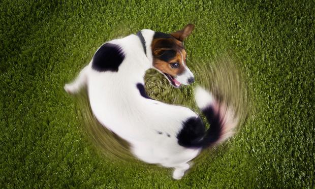 Фото №1 - Почему собаки гоняются за своим хвостом?