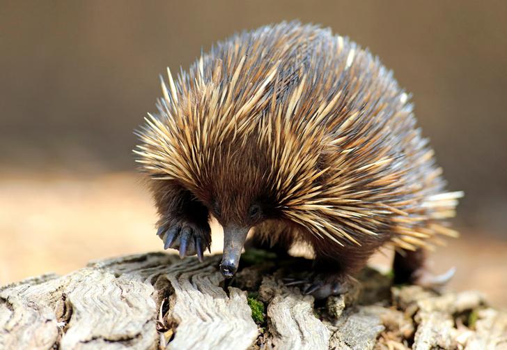 Фото №1 - Гремучая смесь: самое удивительное животное Австралии