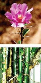 Фото №1 - Растут ли кактусы на деревьях?