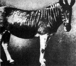 Фото №2 - Конь в полоску