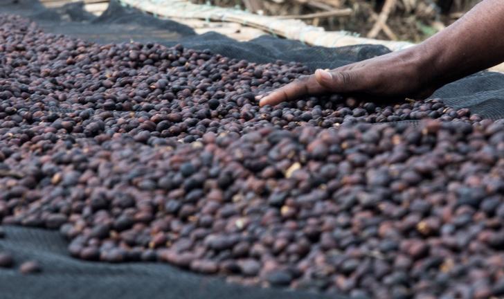 Фото №1 - Большинство диких видов кофе оказались под угрозой исчезновения