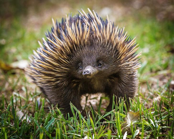 Фото №4 - Гремучая смесь: самое удивительное животное Австралии