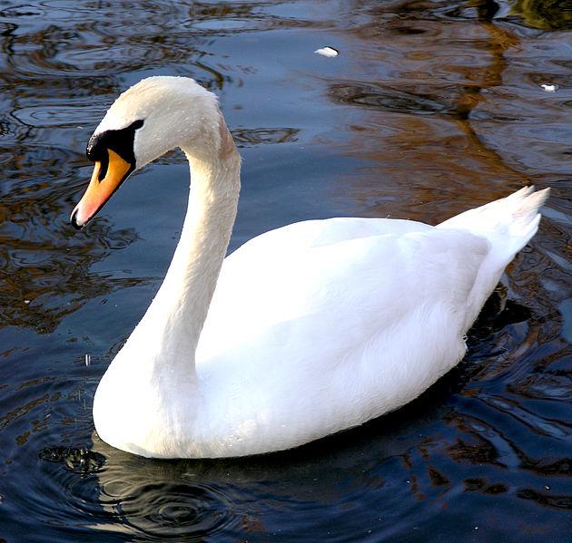 Фото №1 - Лебедь-вдовец умер от тоски в зоопарке Нижнего Новгорода