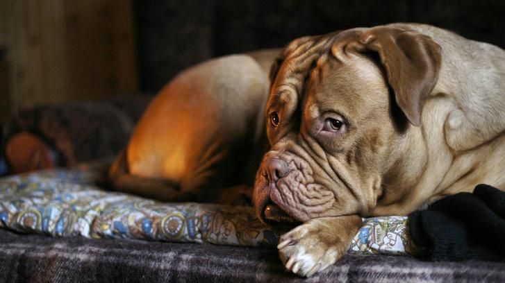 Фото №8 - 5 пород собак-долгожителей и 5 самых недолговечных