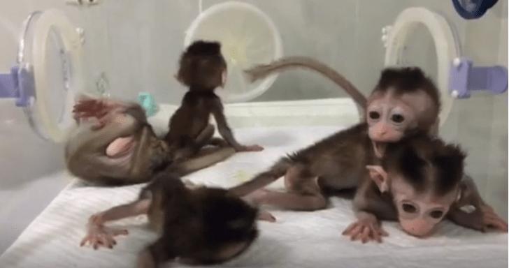Фото №1 - В Китае появились на свет клонированные CRISPR-обезьяны