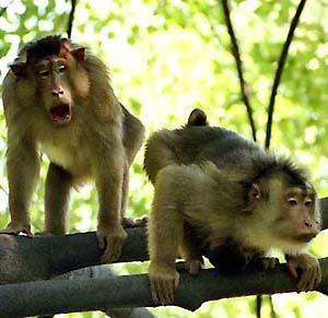 Фото №1 - Вице-мэр Дели пал жертвой обезьян