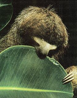 Фото №4 - О гигантских сверчках, прилежных ленивцах и поднадзорных коалах