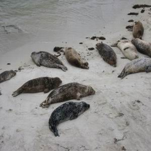 Фото №1 - Каспийские тюлени продолжают умирать