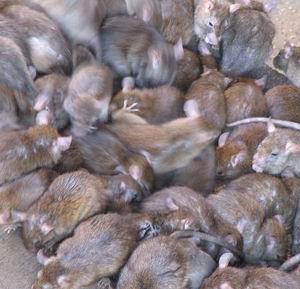 Фото №1 - Крыс выгонят с их острова на Аляске