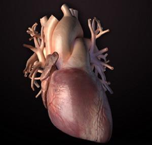Фото №1 - Искусственные мышцы для сердца