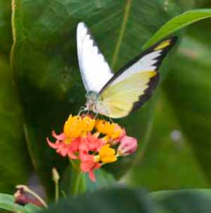 Фото №1 - Тайваньским бабочкам устроят зеленый коридор