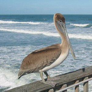 Фото №1 - В Ульяновской области нашли пеликана