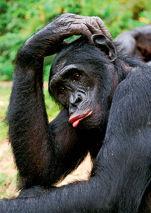 Фото №1 - Почему сейчас обезьяны не превращаются в людей?