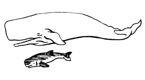 Фото №1 - Карликовый кашалот