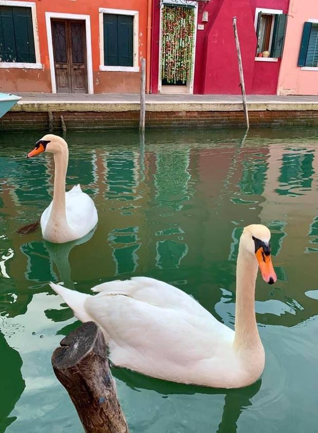Фото №4 - В Венеции из-за карантина очистились каналы, появилась рыба и вернулись лебеди (видео)