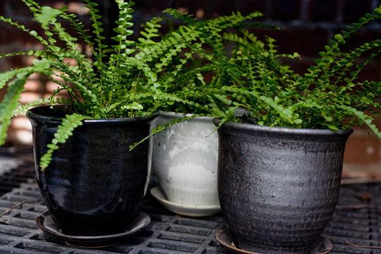 Фото №3 - Модное растение в доме: папоротник