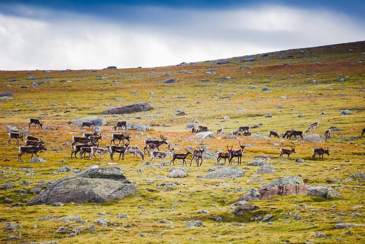 Фото №1 - В Норвегии от удара молнии погибли 323 оленя