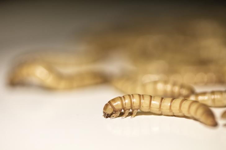 Фото №1 - Ученые рассказали о пользе мучных червей