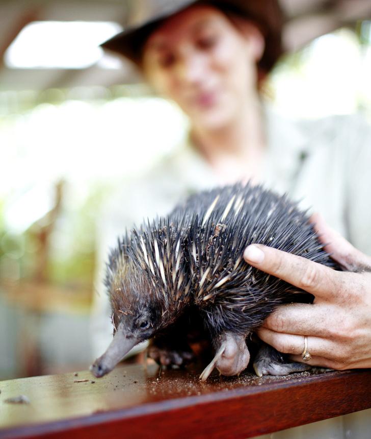 Фото №6 - Гремучая смесь: самое удивительное животное Австралии