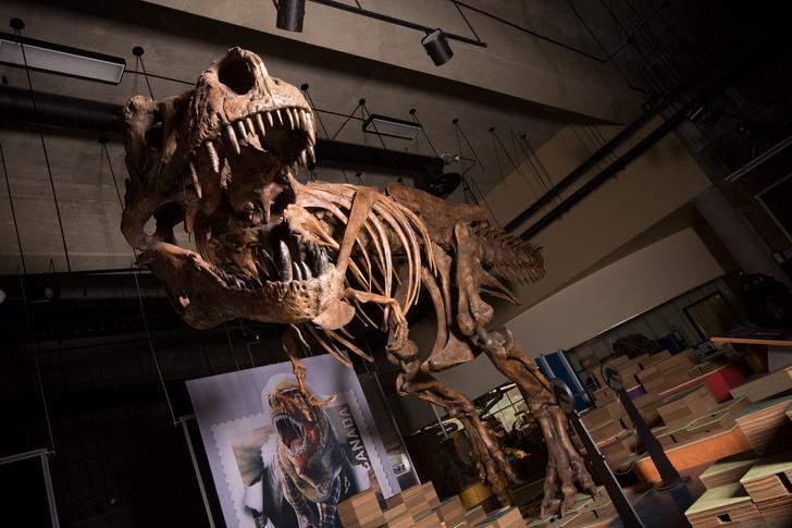 Фото №1 - Ученые рассказали о самом крупном тираннозавре рексе