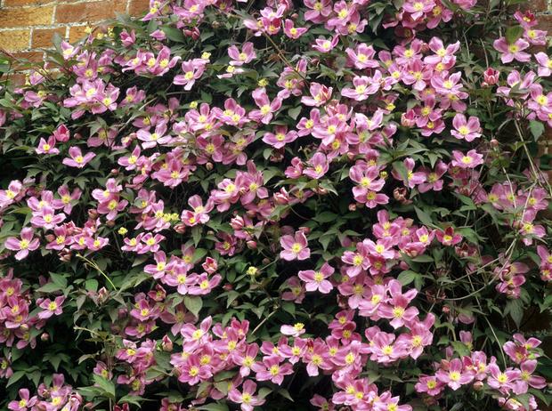 Фото №6 - 5 лучших растений для вертикального озеленения садового участка
