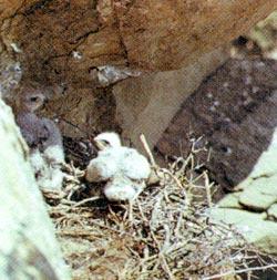 Фото №4 - Фасциатус, ястребиный орел