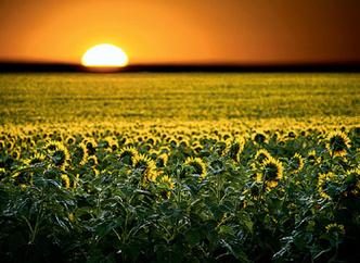 Фото №1 - Каким образом растения поворачиваются к солнцу?