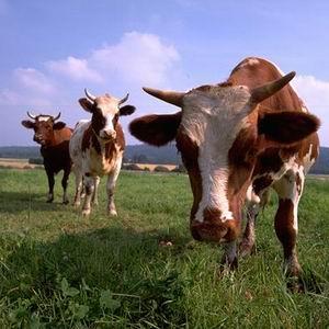 Фото №1 - Топливо из коров
