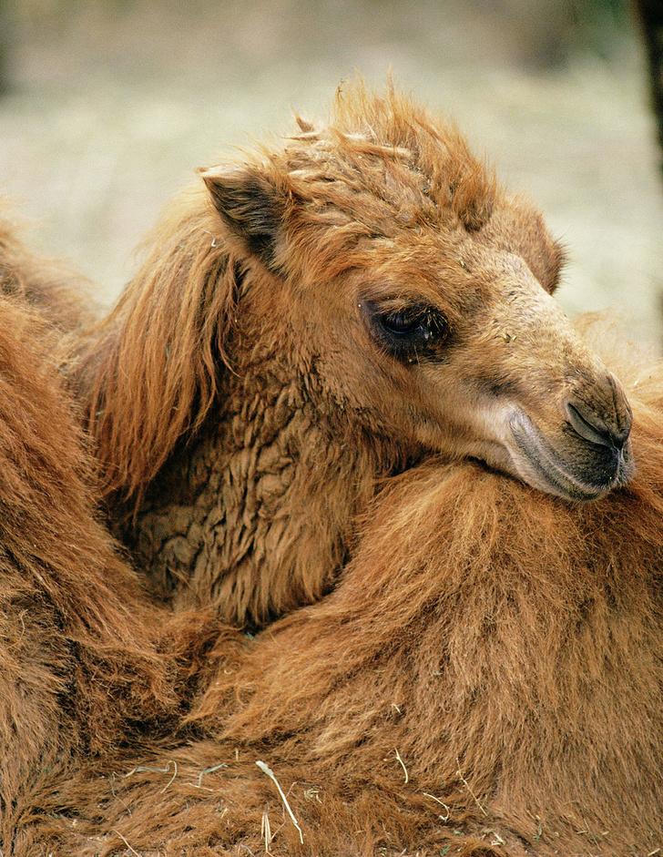 Фото №4 - Сухой закон: как верблюды выживают в экстремальных условиях