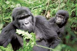 Фото №3 - Кинг Конги из дебрей Уганды