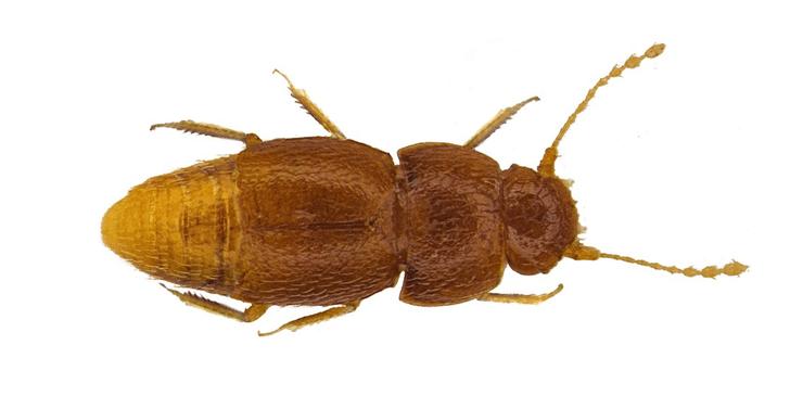 Фото №1 - Новый вид насекомых назвали в честь Греты Тунберг