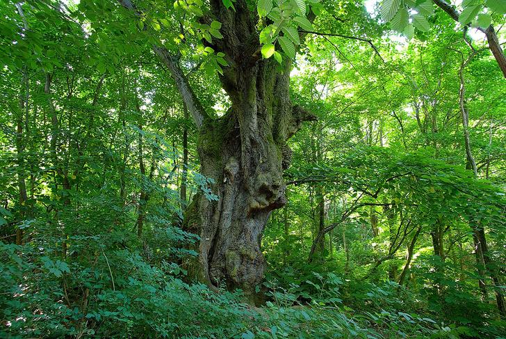 Фото №2 - Деревянные выборы: самые интересные деревья мира