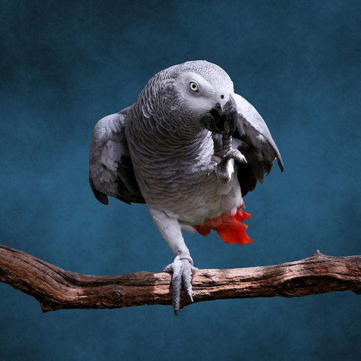 Фото №1 - Почему попугаи умеют говорить