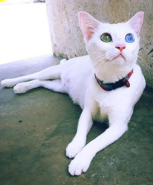 Фото №2 - Бесценные: 10 самых дорогих пород кошек и собак