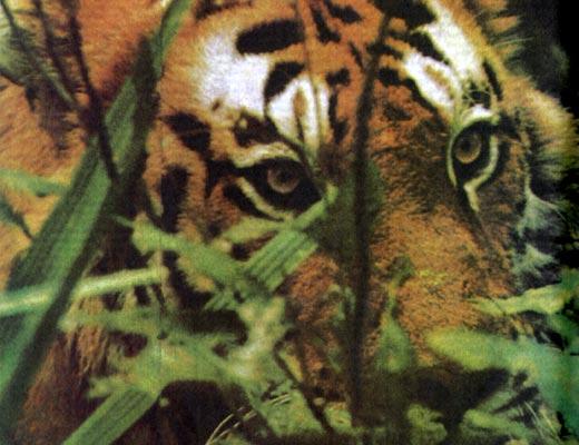 Фото №1 - Тигр нужен живым