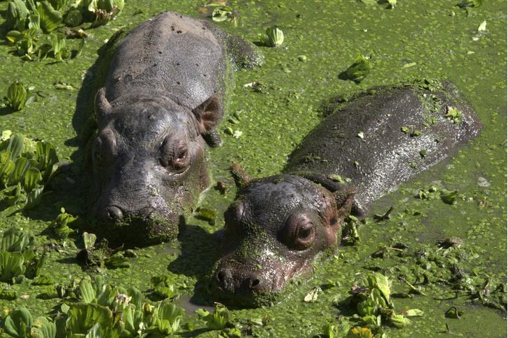 Фото №1 - Уникальные бегемоты-близнецы