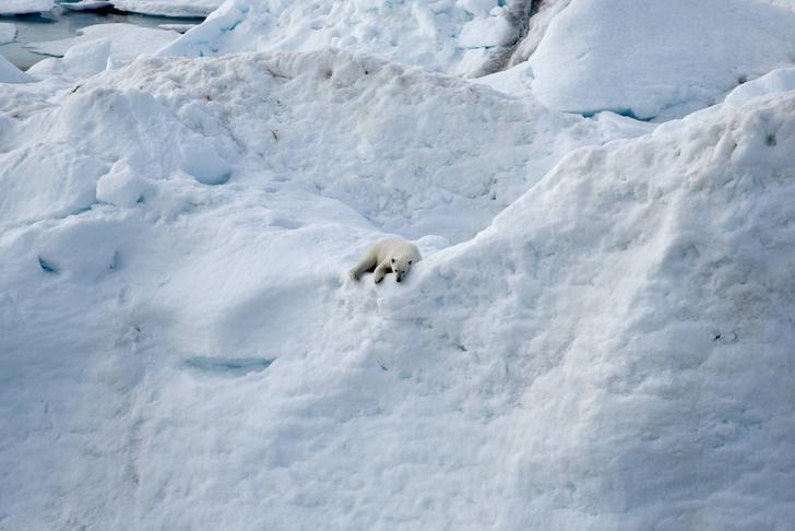 Фото №1 - Ученые объяснили, почему медведи вышли к людям на Новой Земле