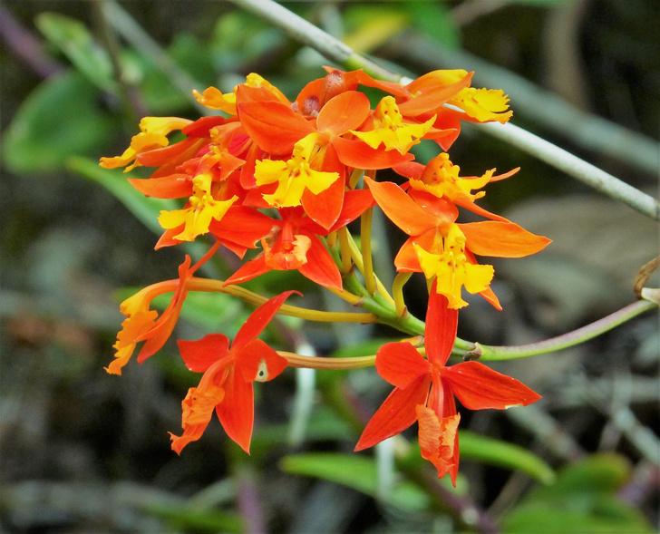 Фото №5 - Живут по всему миру, цветут под землей и умеют изощренно обманывать: 5 удивительных фактов об орхидеях