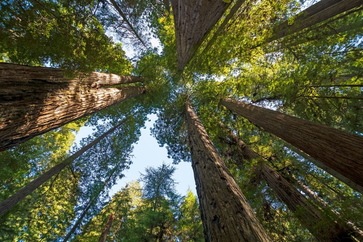 Фото №1 - Есть ли предел высоте деревьев?