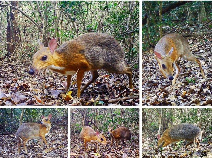 Фото №1 - Во Вьетнаме замечены «вымершие» парнокопытные