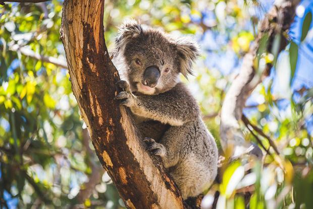опасные животные, коала, милая коала