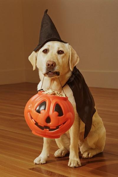 Фото №11 - Фотоподборка недели: собаки, которые уже готовы к Хэллоуину