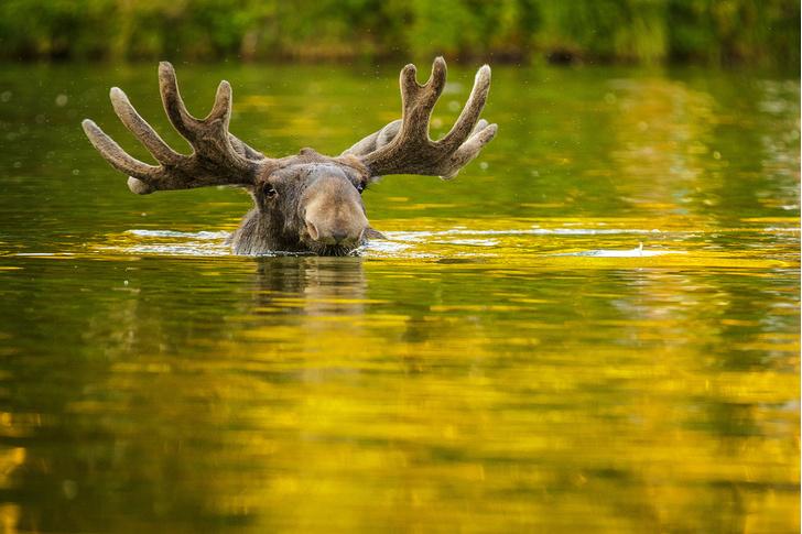 Фото №1 - Заплыв сохатого
