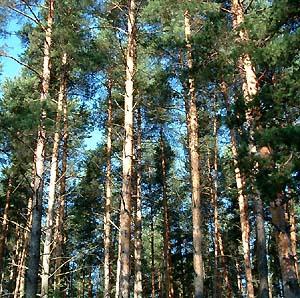 Фото №1 - Канадские сосновые леса съедены жуками