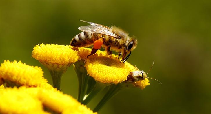 Как принимать пергу пчелиную полезные свойства