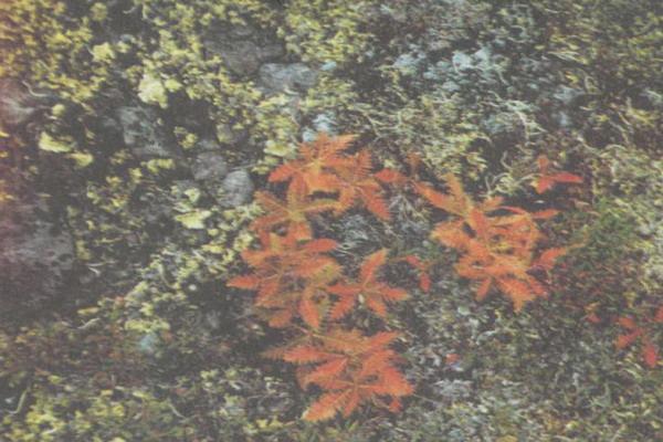 Фото №1 - Цветок тайги