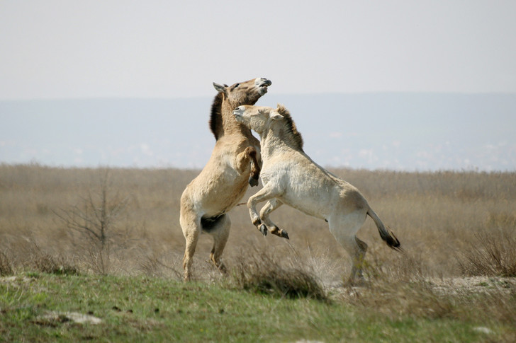 Фото №2 - Лошадь, которой нет: как возрождали исчезающих лошадей Пржевальского. Проект РГО
