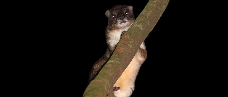Фото №1 - В Кении ученые открыли новый вид млекопитающих