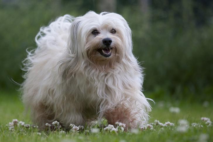 Фото №12 - 15 пород собак, которые не линяют